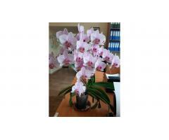 Продам красавицу орхидею