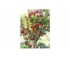 Яблони распродажа опт 4000 тг., плодоносящие деревья Алматы