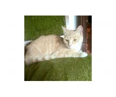 Найдена кошка в районе метро Абая