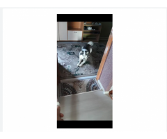 Пропал собака хаски