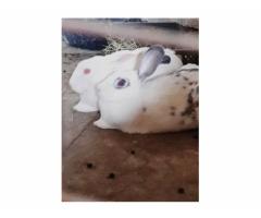 Коян, кролик. Продается