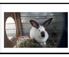 Калифорнийски кролик и кролчатя