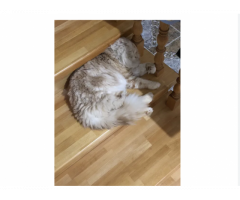 Породистая кошка! Мальчик!На вязку